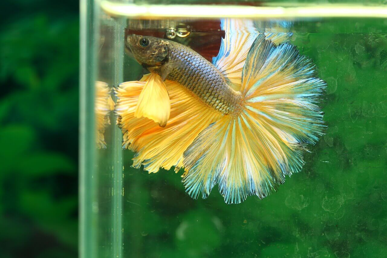 Betta fish for sale online usa and uk